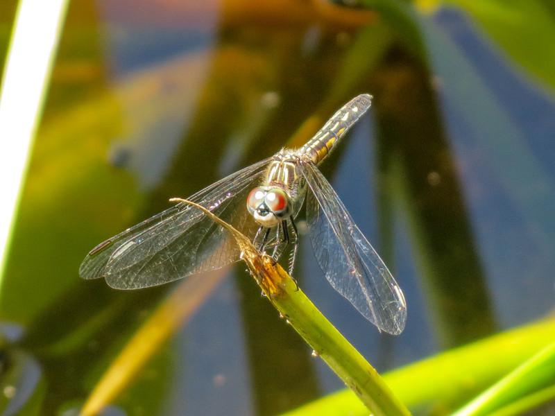 Fm. Spangled Skimmer, Roger's Pond, Kennebunk ME