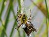 Yellow Garden Spider with Widow Skimmer wing, Quest Pond, Kennebunk ME