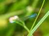 Azure Bluet ?, Quest Pond, Kennebunk ME