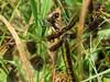 Fm. Twelve-spotted Skimmer, Factory to Pasture Pond, Kennebunk ME