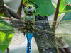 Common Green Darner, Quest Pond, Kennebunk ME