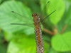 Meadowhawk sp, Quest Pond, Kennebunk ME