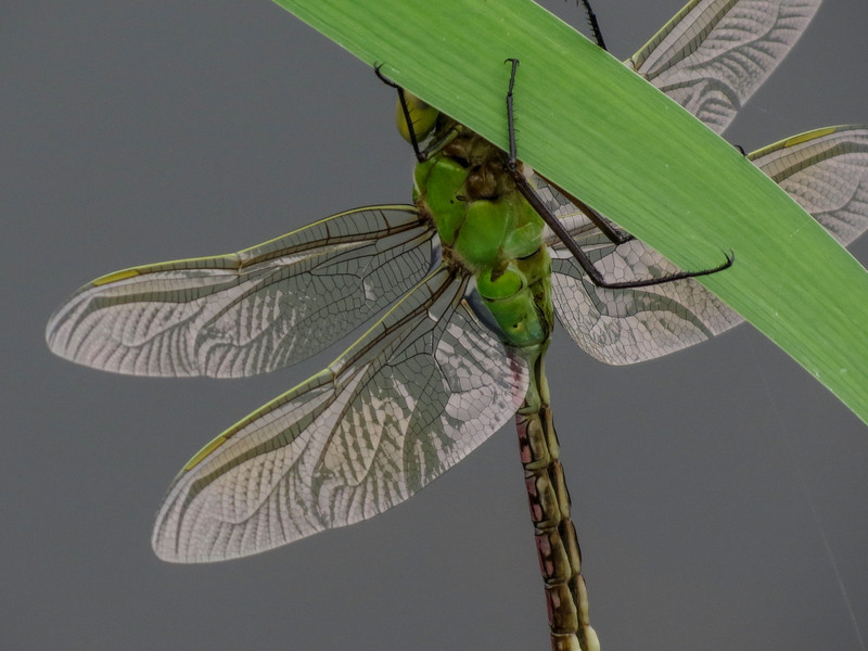 emergent Green Darner, Quest Pond, Kennebunk ME