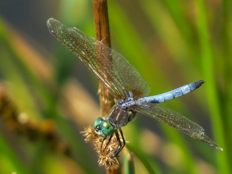 Blue Dasher, Quest Pond, Kennebunk ME