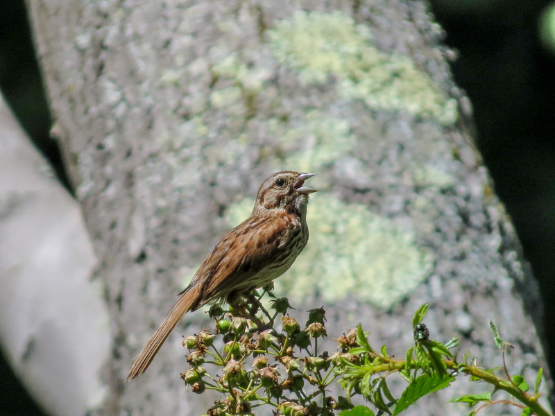 Song Sparrow, Roger's Pond, Kennebunk ME
