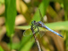 Blue Dasher, Factory to Pasture Pond, Kennebunk ME