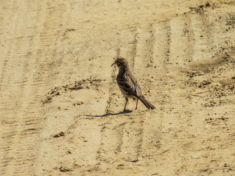 Savannah Sparrow, Kennbunk Plains, Kennebunk ME