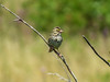 Savannah Sparrow, Kennebunk Plains, Kennebunk ME