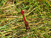 Cherry-faced Meadowhawk, Factory to Pasture Pond, Kennebunk ME