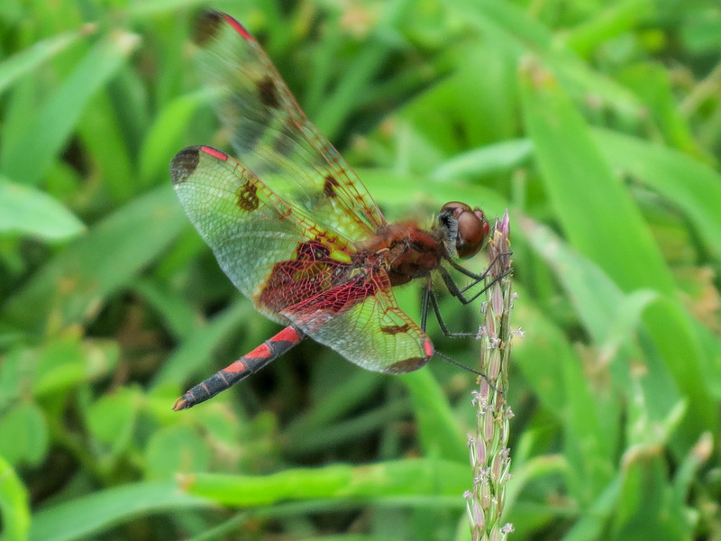 Calico Pennant, Quest Pond, Kennebunk ME