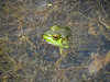 Frog, Quest Pond, Kennebunk ME