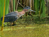 Green Heron, Medical Center Pond, Kennebunk ME