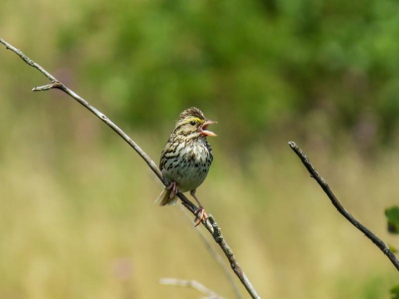 Savannah Sparrow, Kennebunk Plains, Kennebunk ME