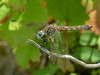 Fm Blue Dasher, Quest Pond, Kennebunk ME