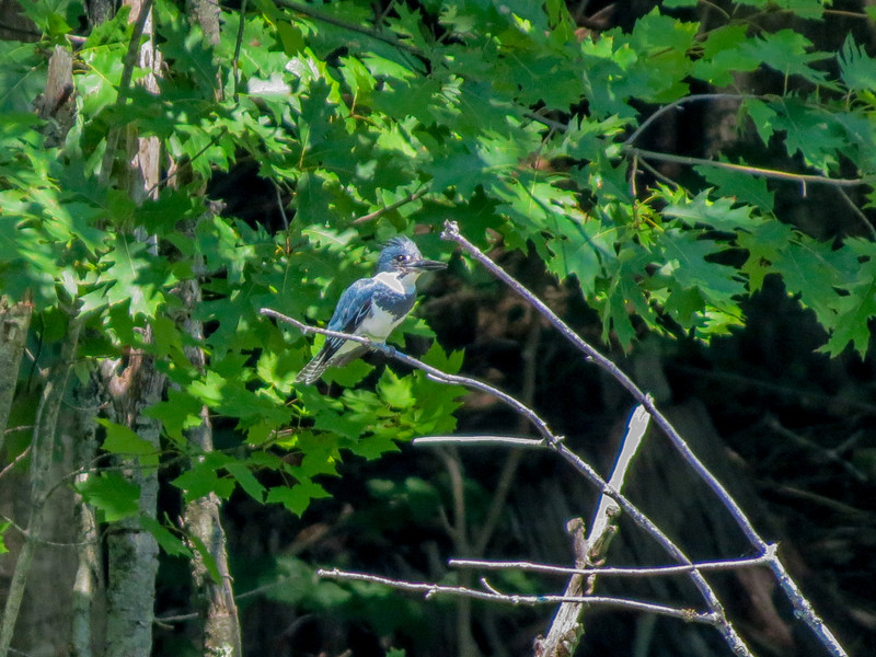 Belted Kingfisher, Factory to Pasture Pond, Kennebunk ME