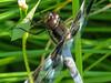 Twelve-spotted Skimmer, Quest Pond, Kennebunk ME
