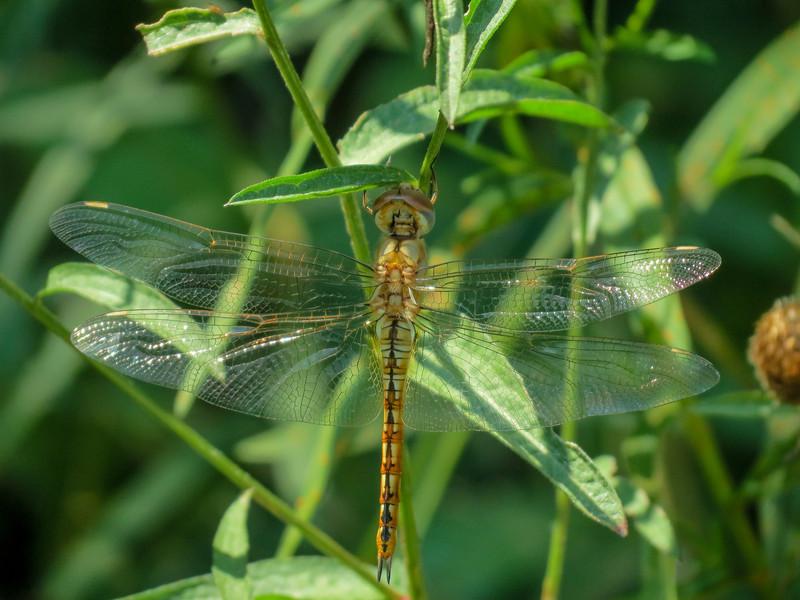 newly emerged Wandering Glider, Quest Pond, Kennebunk ME