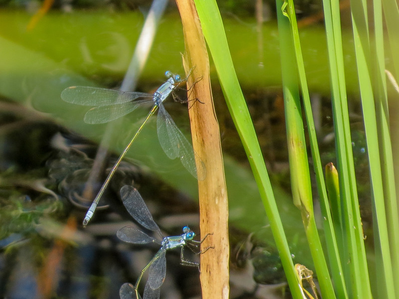 Swamp Spreadwing (?), Back Creek Pond #1, Rt 9, Kennebunk ME
