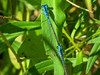 Azure Bluet (?), Quest Pond, Kennebunk ME