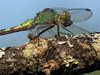 Fm Eastern Pondhawk eating, Quest Pond, Kennebunk ME