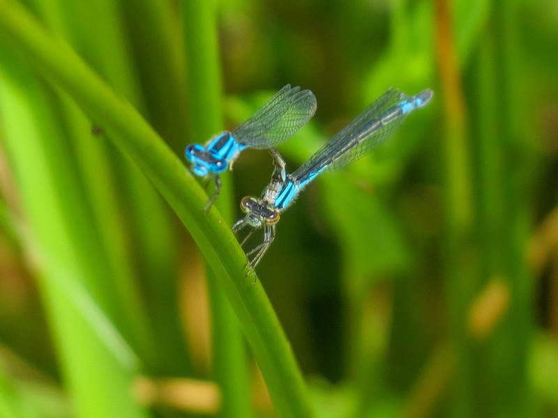 Azure Bluet, Quest Pond, Kennebunk ME