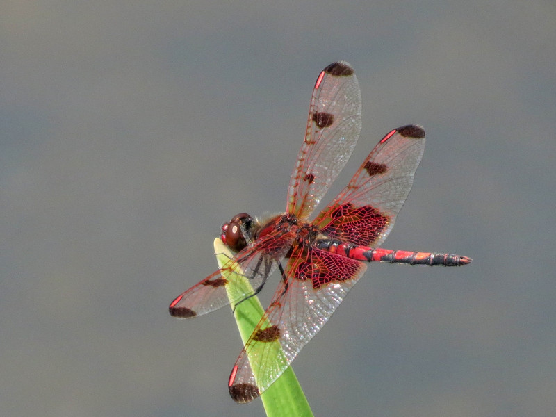 Calico Pennant (M), Quest Pond, Kennebunk ME