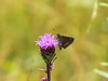 Northern Broken Dash Skpper on Northern Blazing Star, Kennebunk Plains, Kennebunk ME