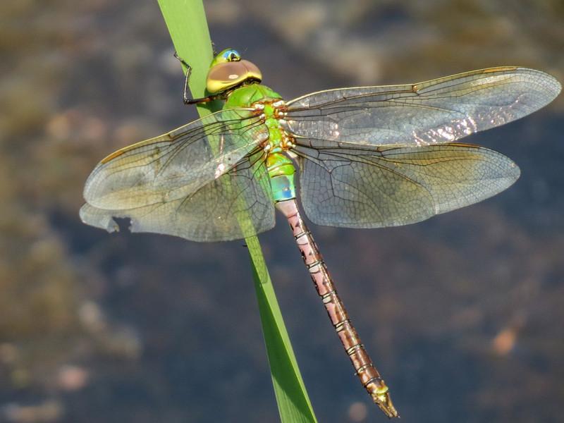 teneral Fm Common Green Darner, Quest Pond, Kennebunk ME