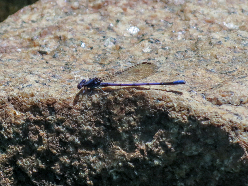 Familiar Bluet, Roger's  Pond, Kennebunk ME