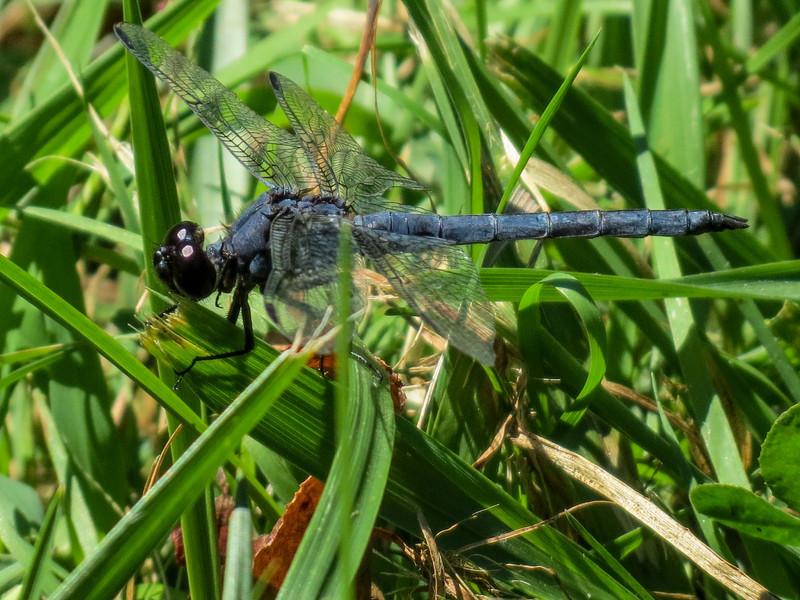 Slaty Skimmer, Roger's Pond, Kennebunk ME