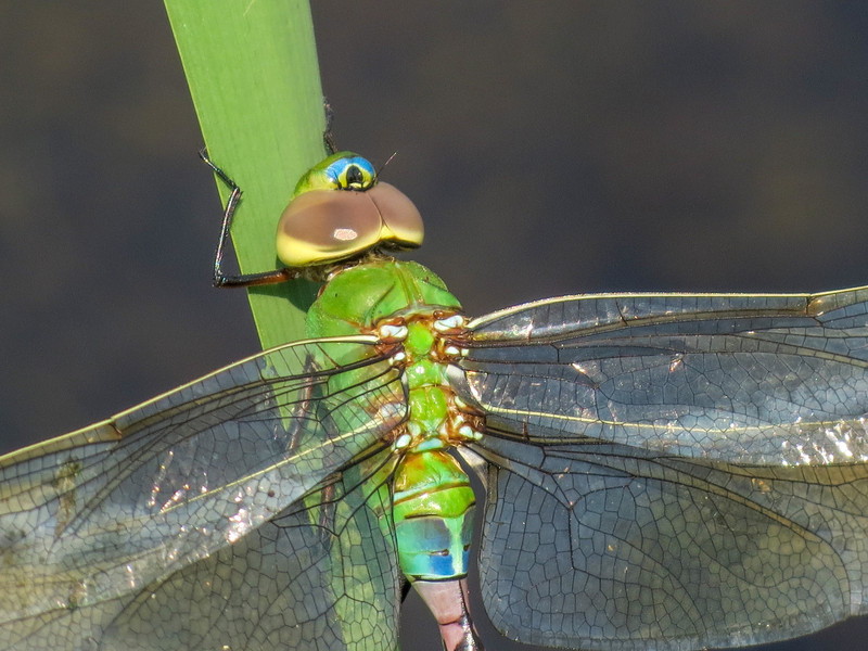 teneral Fm Common Green Darner, Quest Pond, Kennebunk ME