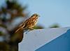Song Sparrow, A beach, Kennebunk ME