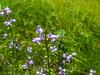 tny blue flowers, Kennebunk Plains, W. Kennebunk ME