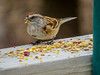 American Tree Sparrow, The Yard, Kennebunk ME