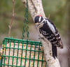 Downy Woodpecker, The Yard, Kennebunk ME