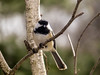 Black-capped Chickadee, The Yard, Kennebunk ME