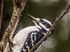 Hairy Woodpecker, The Yard, Kennebunk ME