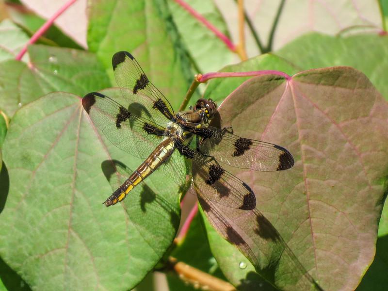 Twelve-spotted Skimmer, Coastal Maine Botanical Garden, Boothbay ME