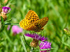 Great Spangled Fritillery, Emmons Preserve, Kennebunkport, ME