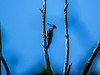 Pileated Woodpecker, Emmons Preserve, Kennbunkport, ME