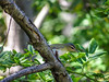 Red-eyed Vireo, Emmon's Preserve, Kennebunkport ME