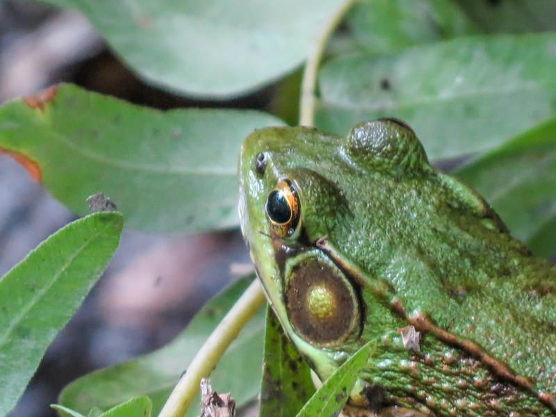 Frog, Emmons Preserve, Kennebunkport ME