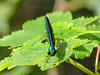 Ebony Jewelwing, Emmon's Preserve, Kennebunkport, ME
