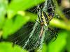 Garden Spider, Emmons Preserve, Kennebunkport ME