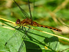 Whitefaced Meadowhawk, Emmons Preserve, Kennebunkport ME