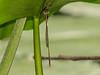 Eastern Forktail ? , Emmons Preserve, Kennebunkport ME