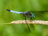 Blue Dasher, Emmons Preserve, Kennbunkport, ME