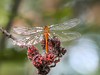 Autumn Meadowhawk, Emmons Preserve, Kennbunkport ME