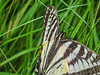 Tiger Swallowtail, Emmons Preserve, Kennebunkport, ME