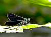 Ebony Jewelwing, Emmons Preserve, Kennebunkport, ME